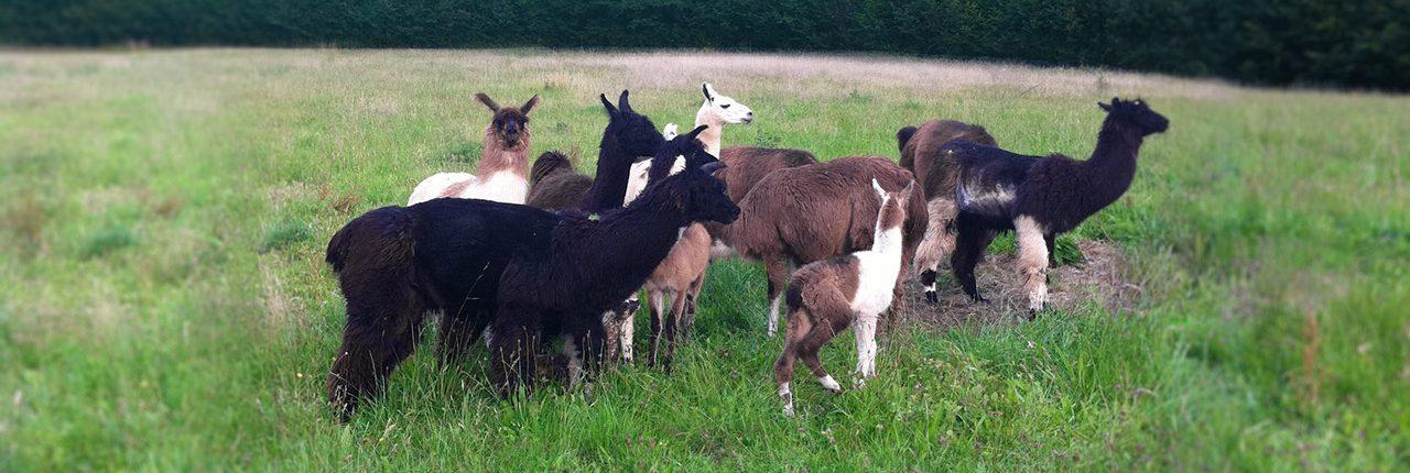 Unsere kleine Lama-Herde